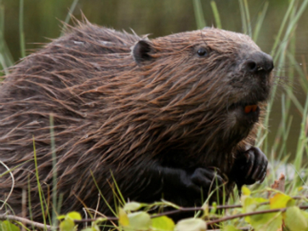 Beavers' unique ability to restore landscapes revealed