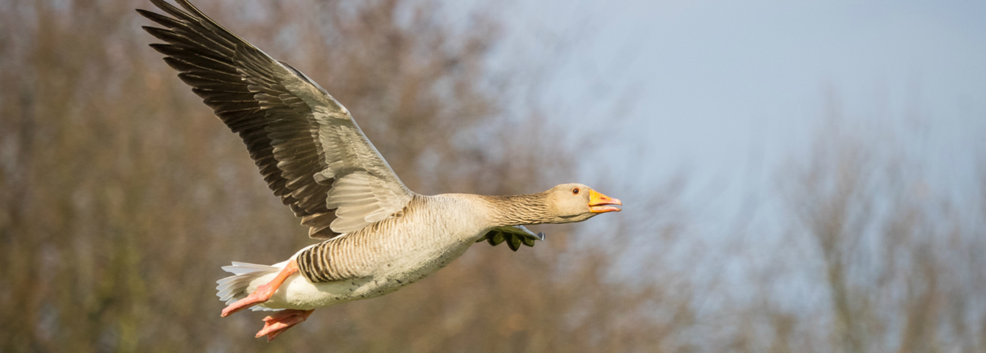 An image of a Pink Footed Goose