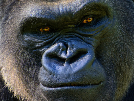 Study reveals greater ape population than predicted – but numbers are still on decline