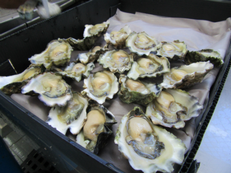 Coastal acidification is causing oysters to shrink, study finds