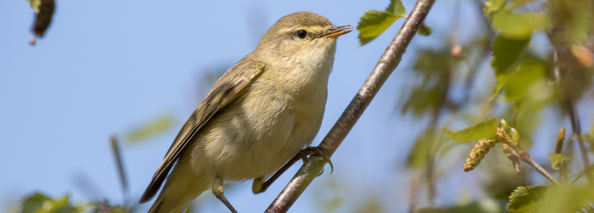 Willow warbler sitting in a tree.