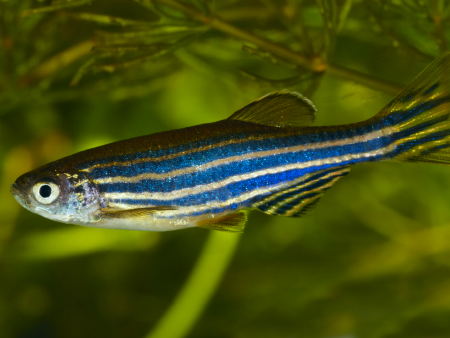 Pairing zebrafish by personality improves fitness of the species