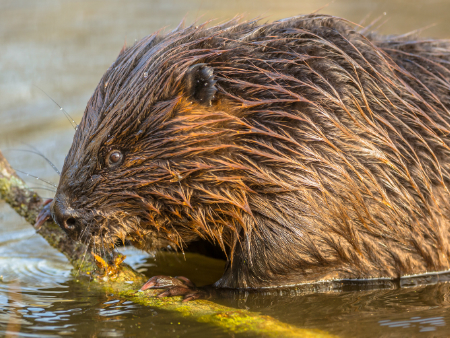 Beavers' impact on biodiversity revealed