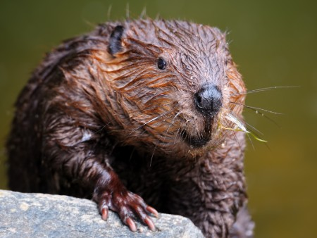 Beaver reintroduction key to solving freshwater biodiversity crisis