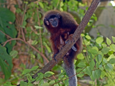 Monkeys face climate change extinction threat