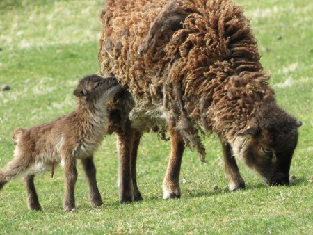 Study reveals link between sheep reproduction and infection