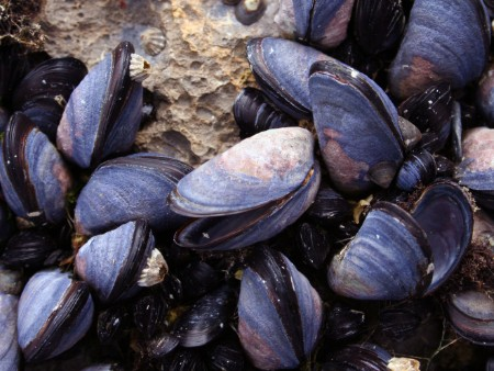 Eating mussels three times a week boosts omega-3 levels