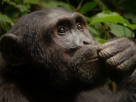 Stirling expert informs new study on chimpanzee behaviour
