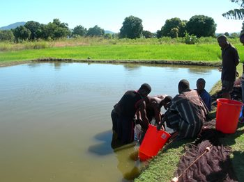 Fish farmer Ishamel Amadu and colleagues harvesting fish in Chingale, Malawi. Photo: WorldFish Center.